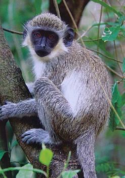 Vervet monkey by Sharon Theron