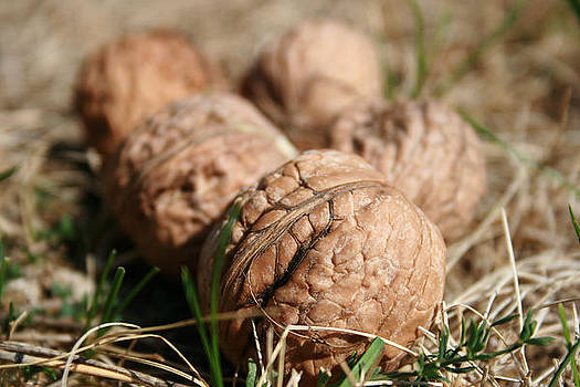 Wallnuts by Cora Brum