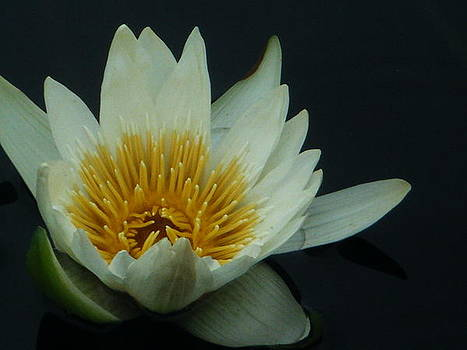 Water Lily by Amanda Bobb