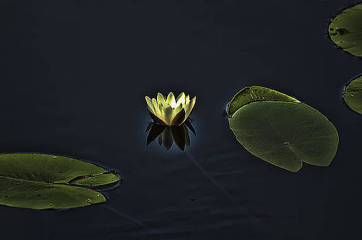 Waterlily by Tage Persson