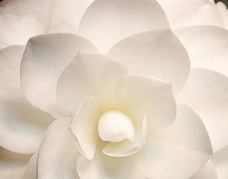 White Camellia by Randall Scherrer