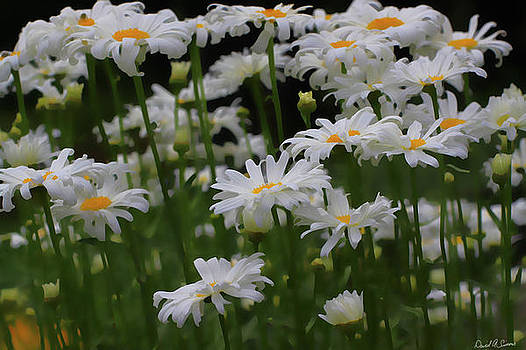 White Daisies by David Simons