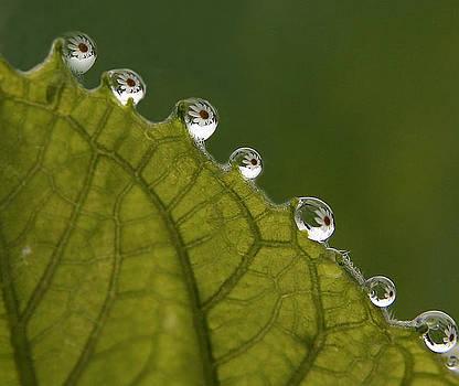 White Daisy Reflecting in Rain Drops by David Simons
