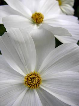 White Flowers by Robert Lozen