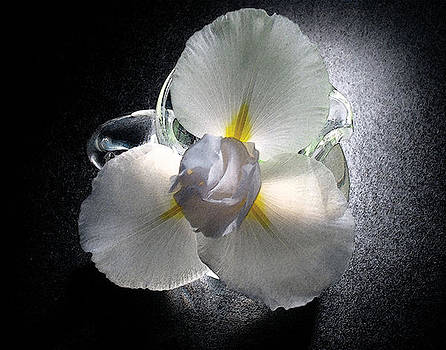 White Iris in Glass Pitcher by Randall Scherrer