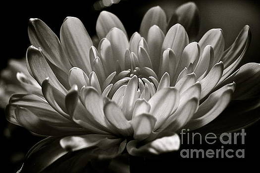 White Petals by Jill Smith