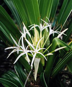 White Tropical Flower by Robert Lozen