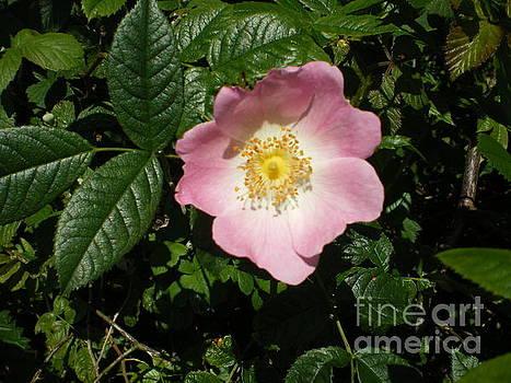 Wild Rose by Ann Fellows