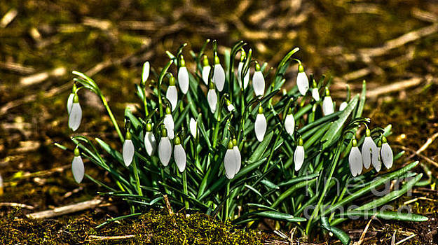 Winter Snowdrops by Peter Nix
