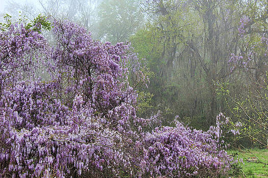 Wisteria in the Mist by Leslie Kirk