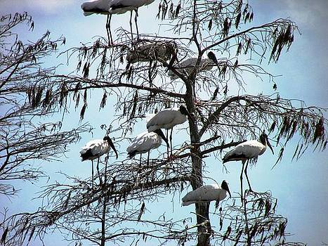 Wood Storks by Will Boutin Photos