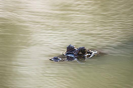 Yacare Caiman, Caiman Crocodylus by Sergio Pitamitz