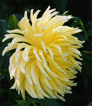 Yellow Flower by Robert Lozen