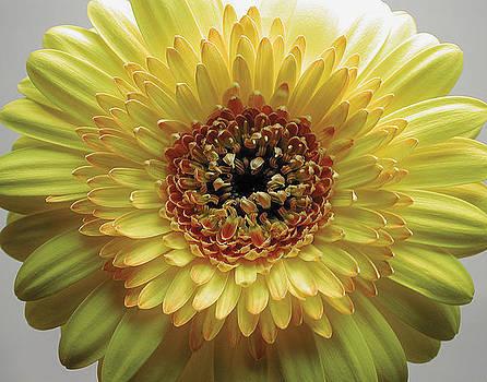 Yellow Gerbera Daisy by Randall Scherrer