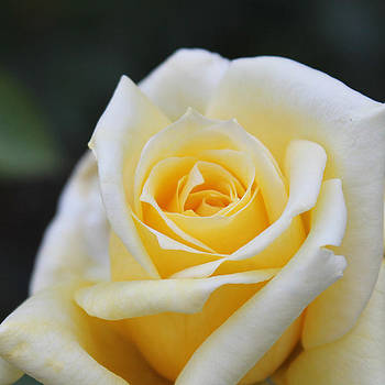 Yellow Rose - 1 by Penny McClintock