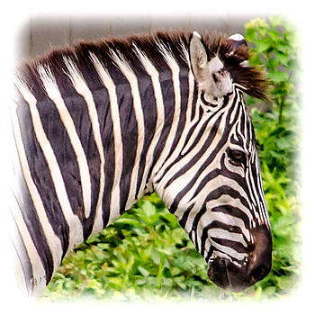 Zebra profile by Renee Barnes