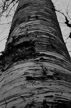 Zebra Tree by Wendell Ducharme Jr
