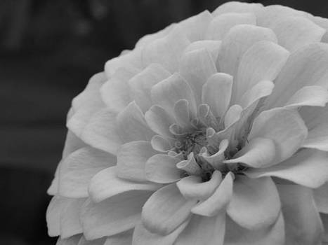 Zinnia in black and white by Pat Lopez