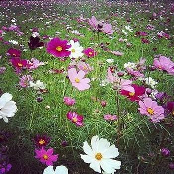 Garden of Cosmos by Yoshikazu Yamaguchi