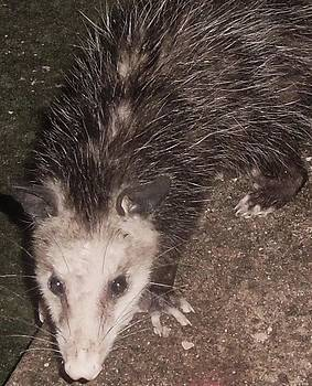 Midnight Possum by Trudy Brodkin Storace