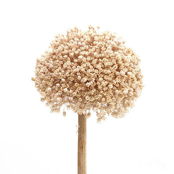 BERNARD JAUBERT -  Allium flower