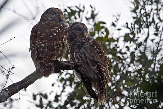 Barred Owls by John Rowe