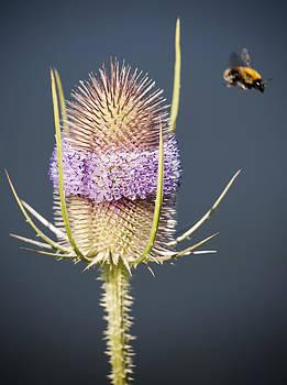Beautiful Flowering Teasel by Gillian Dernie