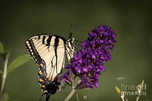 Eastern Tiger Swallowtail Series by Cris Hayes