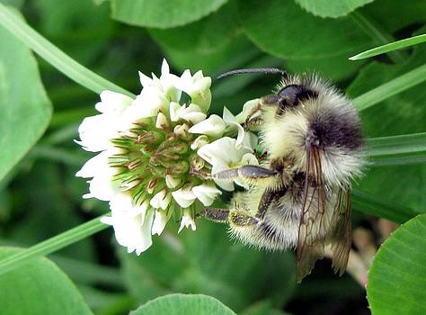 Fluffy Bumble Bee by Heather Gordon