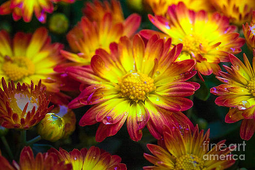 Golden Mums by Sharon Cuartero