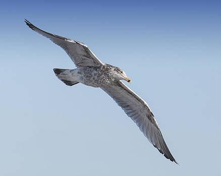 Gull Friend by Ross Powell