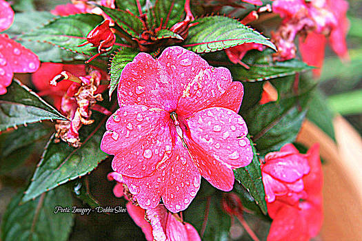 Impatiens by Debbie Sikes