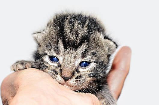 Kitten in a Hand by Susan Leggett