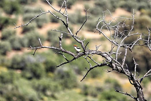 Lanius senator - Alcaudon comun - Woodchat Shrike by Goyo Ambrosio