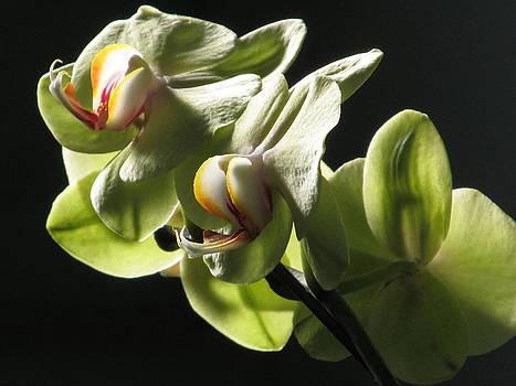 Alfred Ng -  light green phalaenopsis orchid