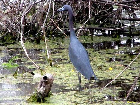 Buzz  Coe -  Little Blue Heron III