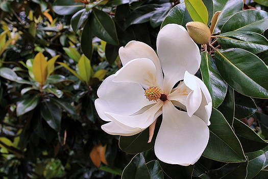 Magnificent Magnolia by Francie Davis