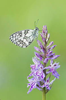 Marbled White Butterfly by Mircea Costina Photography