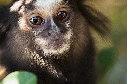 Marmoset Gaze by Floyd Raymer