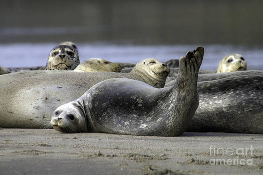 Nestucca Bay Harbor Seals by Tim Moore