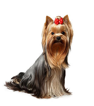 One Yorkshire Terrier isolated on white by Konstantin Gushcha