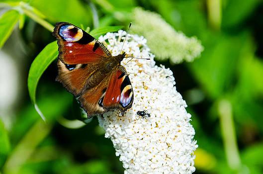 Martina Fagan -  Peacock Butterfly
