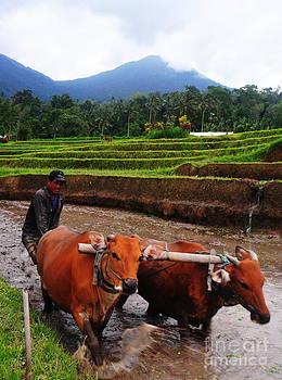Plowing by Wayan Suantara
