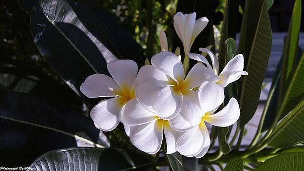 Plumeria  by Gornganogphatchara Kalapun