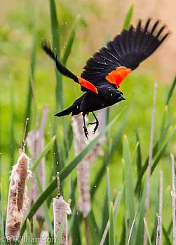 Red Wing BlackBird by Brian Williamson