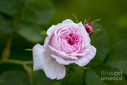 Rose by Sylvia  Niklasson