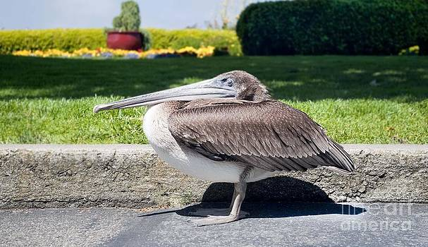 San Fran Pelican by Steven Van Gucht