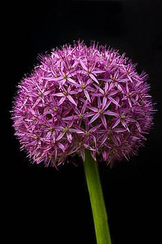 Single Purple Allium by Gillian Dernie
