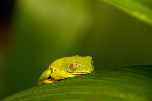 Sleeping Red-eyed Tree Frog by Gary Campbell