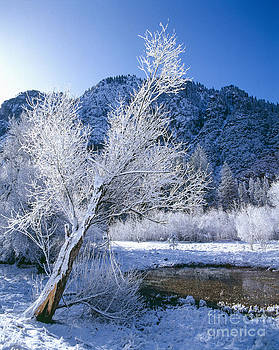 Snow-Covered Trees  by Tracy Knauer